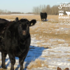 schielke farm cow