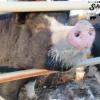 schielke farm pig