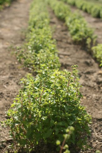 Herb - Oregano row